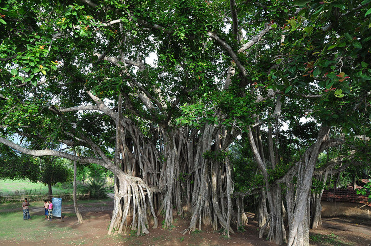 Banyan Trees in Bangladesh