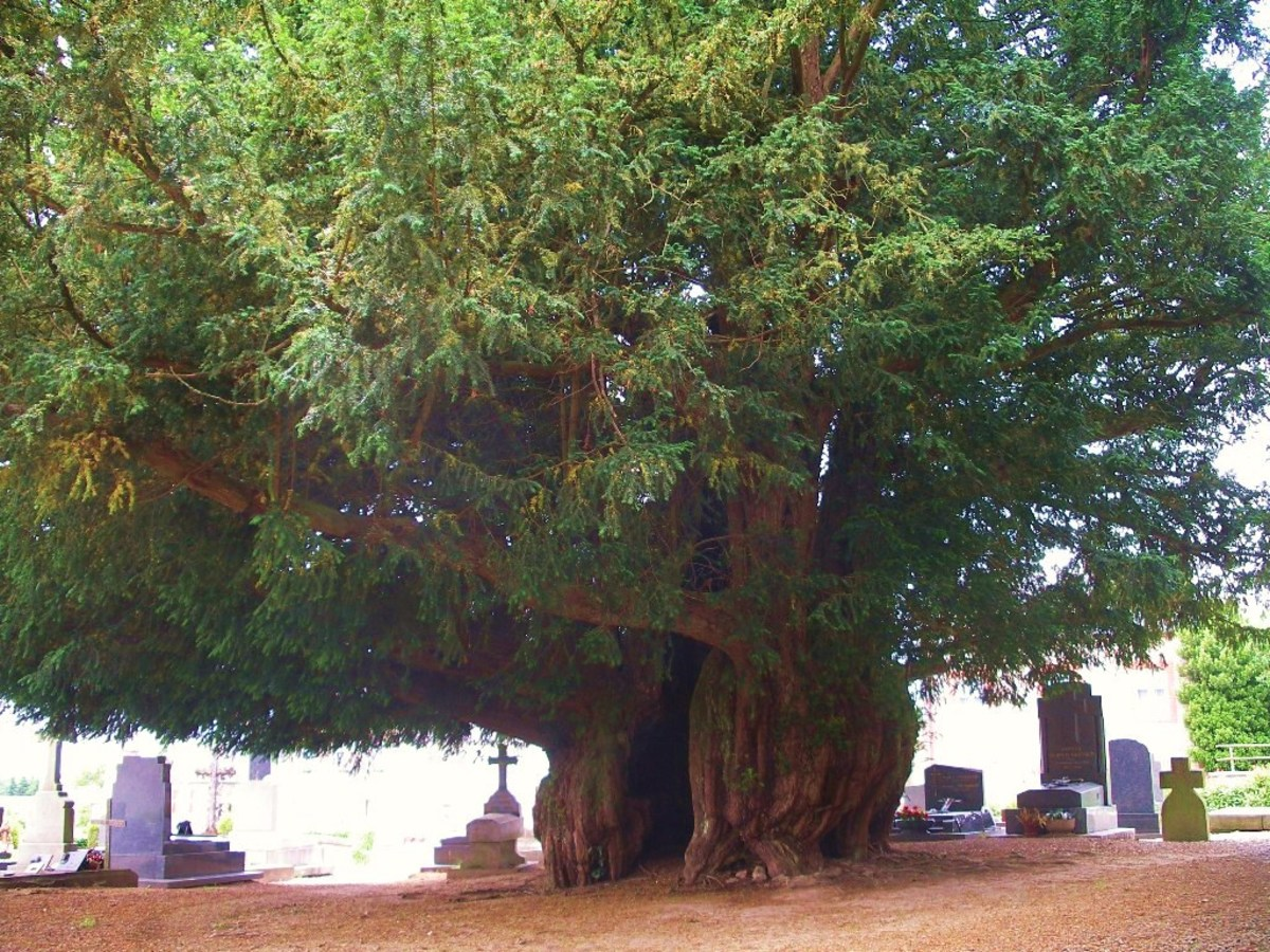 Photo of 1,600 Year Old Yew Tree in Cemetery in Normandy, France
