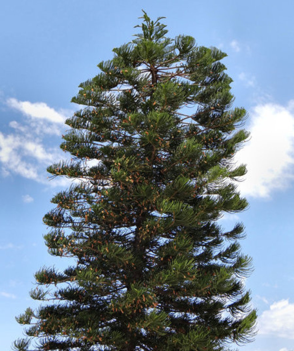 Norfolk Pine Tree Picture