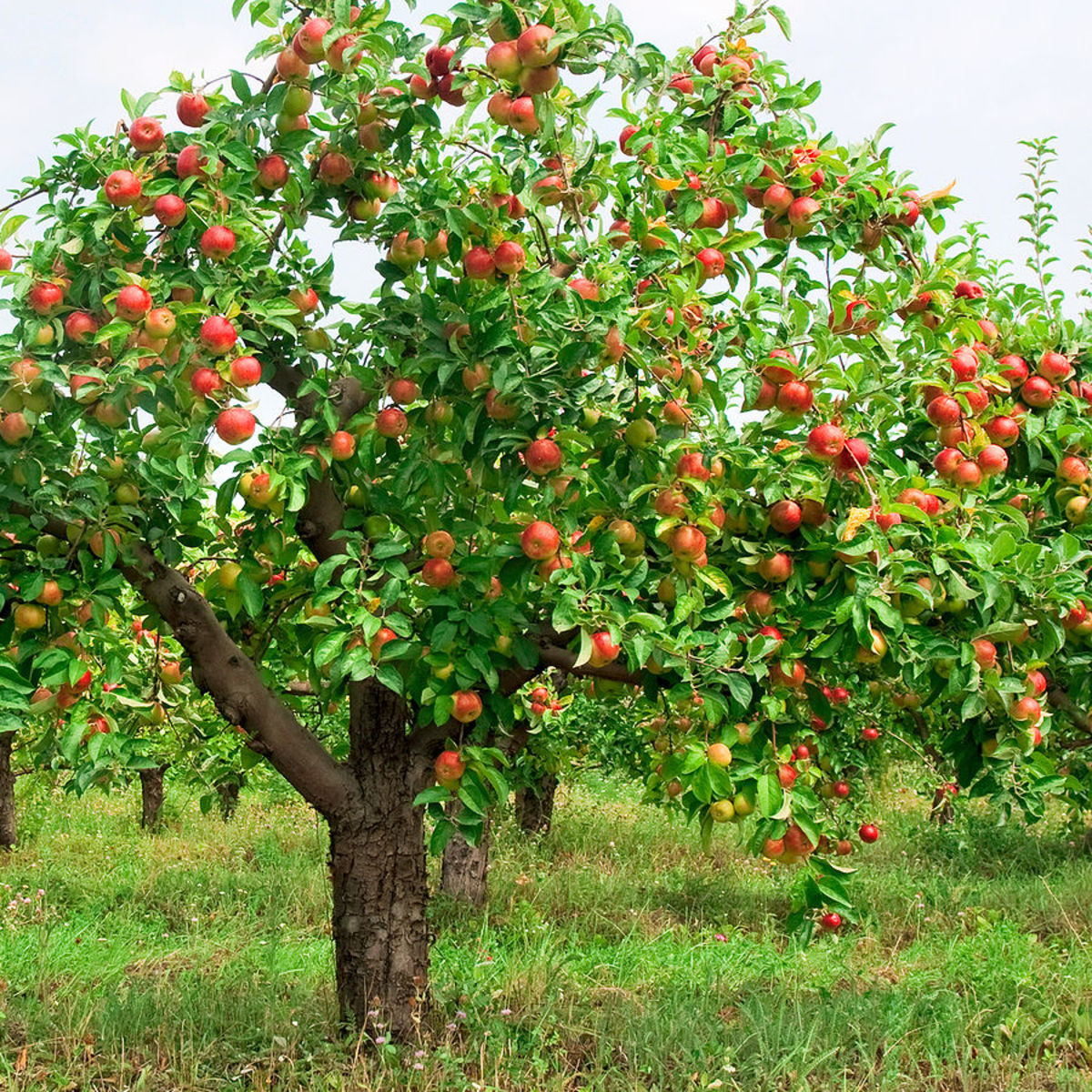 Red Delicious Fuji Apple Tree
