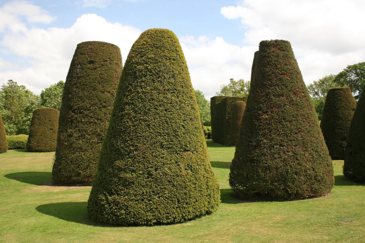 Yew Tree Topiaries