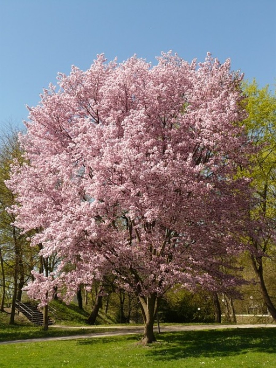 Flowering Cherry Tree Image