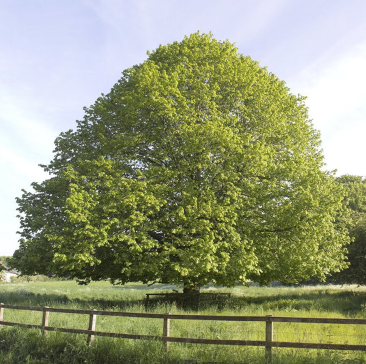 Lime Linden Tree Photo