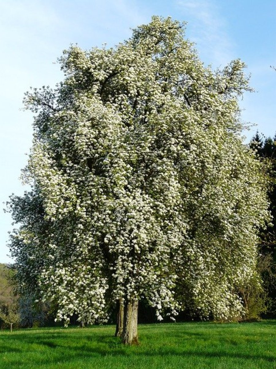 Flowering Pear Tree in Spring