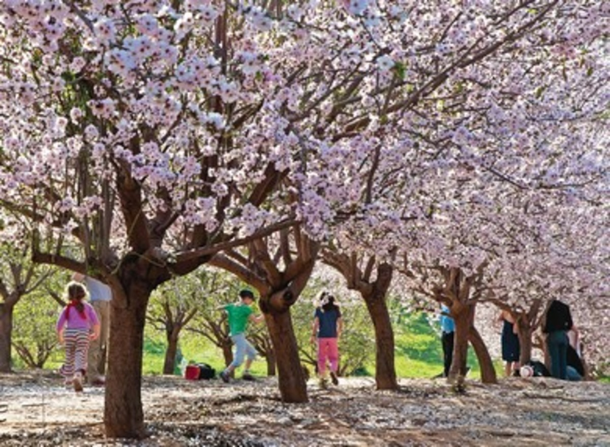 Flowering Almond Trees in Jerusalem, Israel