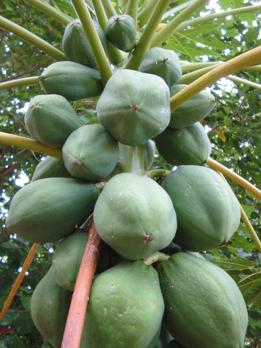Ripe Fruit on Papaya Tree