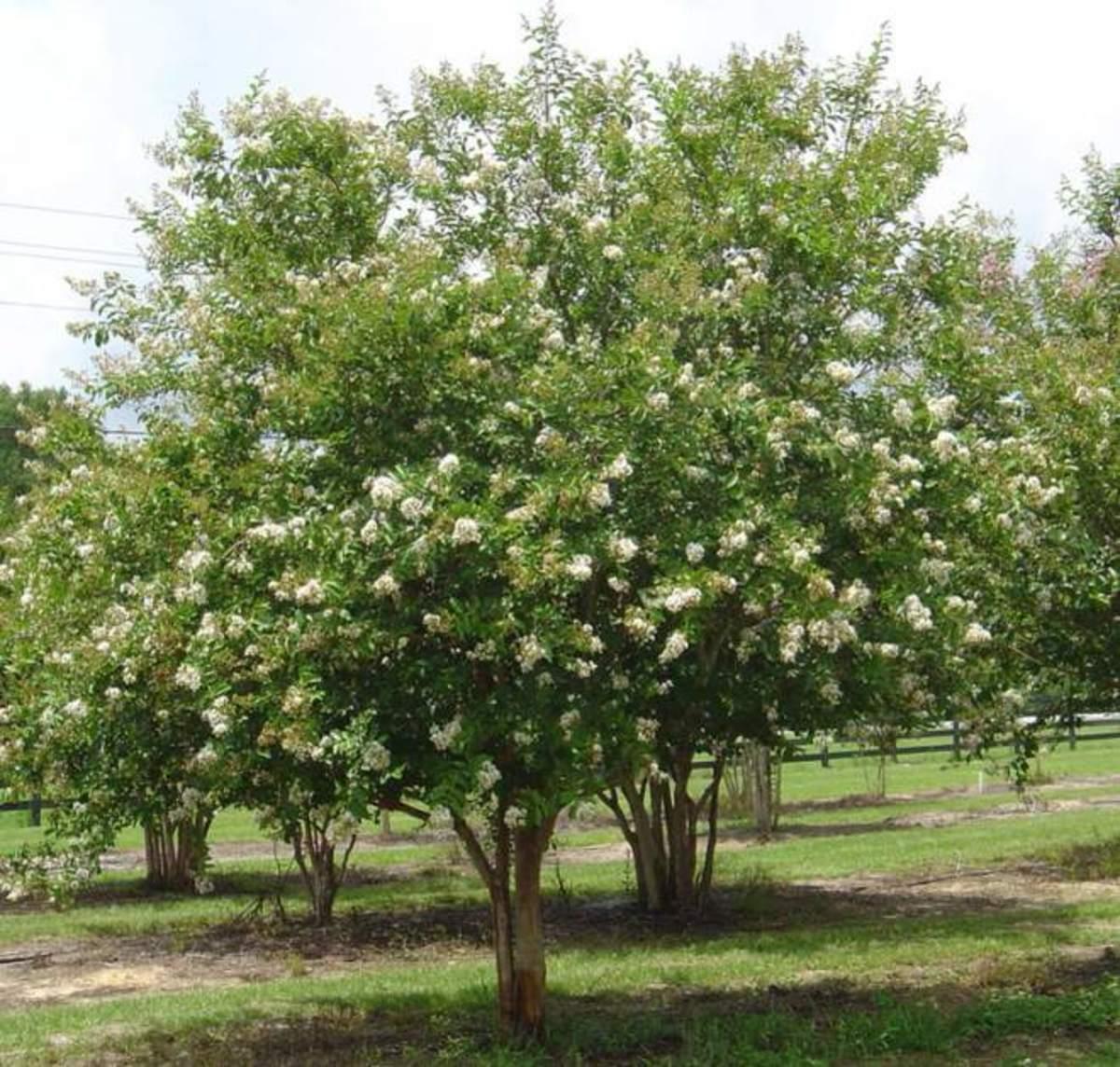 White Crape (Crepe) Myrtle Trees