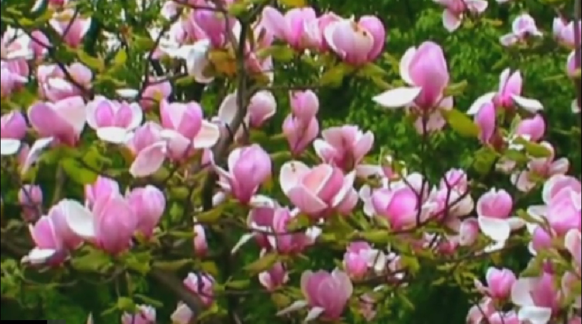 Flowering Tulip Magnolia Tree