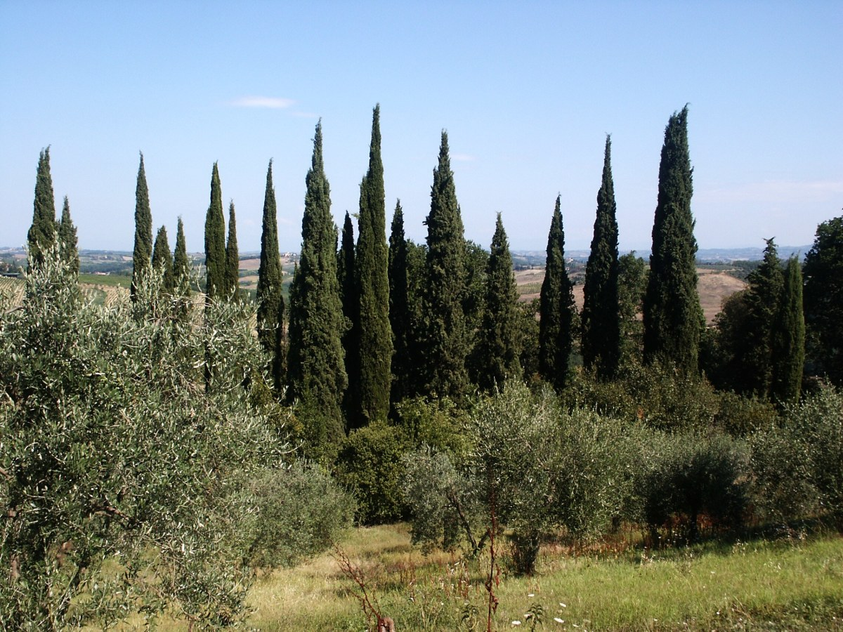 Row of Cypress Trees as a Windbreak for Olive Grove in Toscana, Italy
