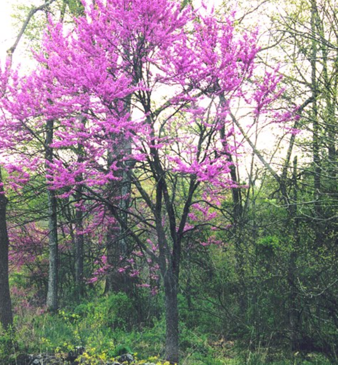 Wild Redbud Tree in Oklahoma, U.S. – State Tree of Oklahoma