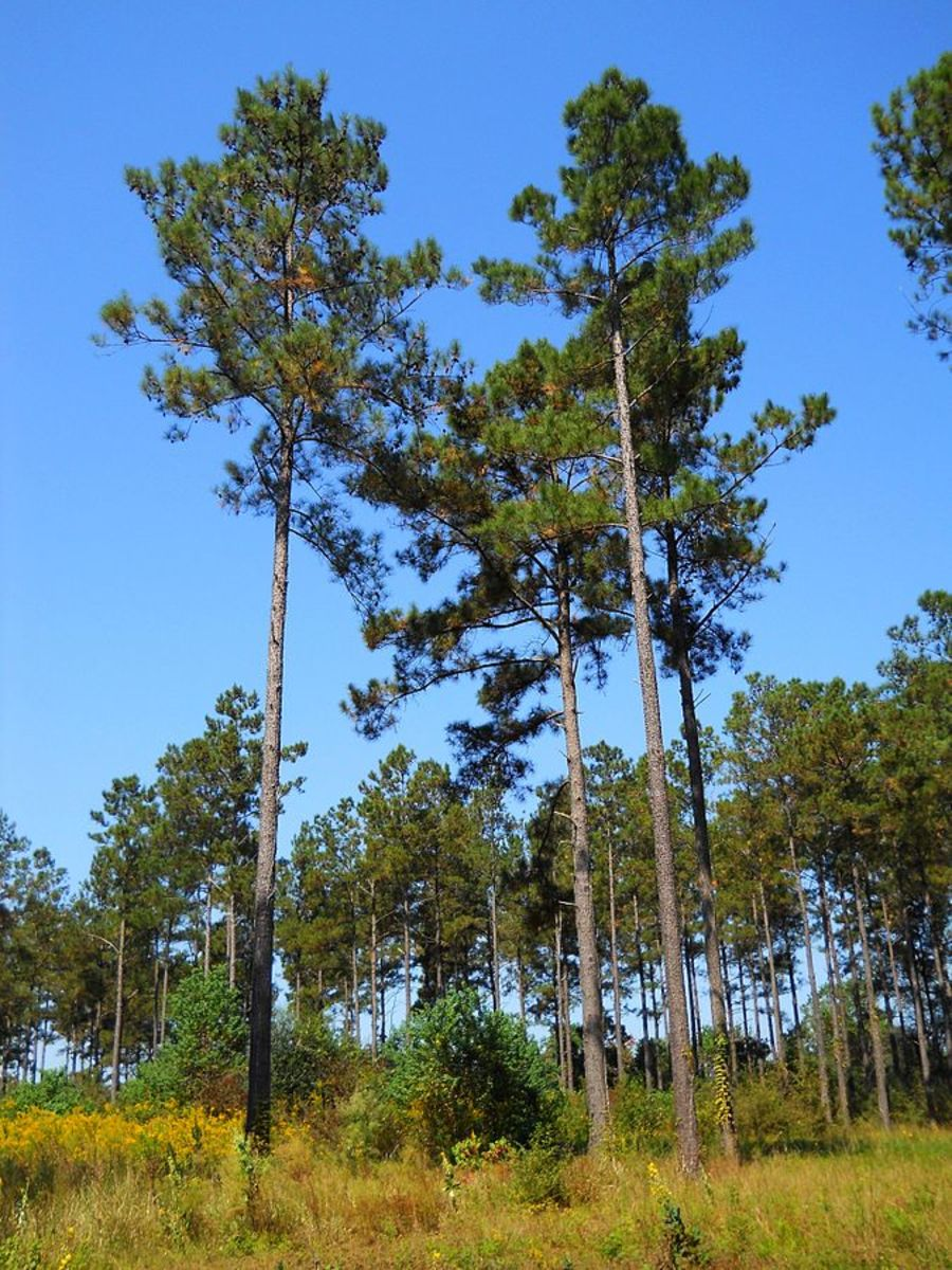 Pictures of Loblolly Pine Trees in Southern Mississippi, U.S.