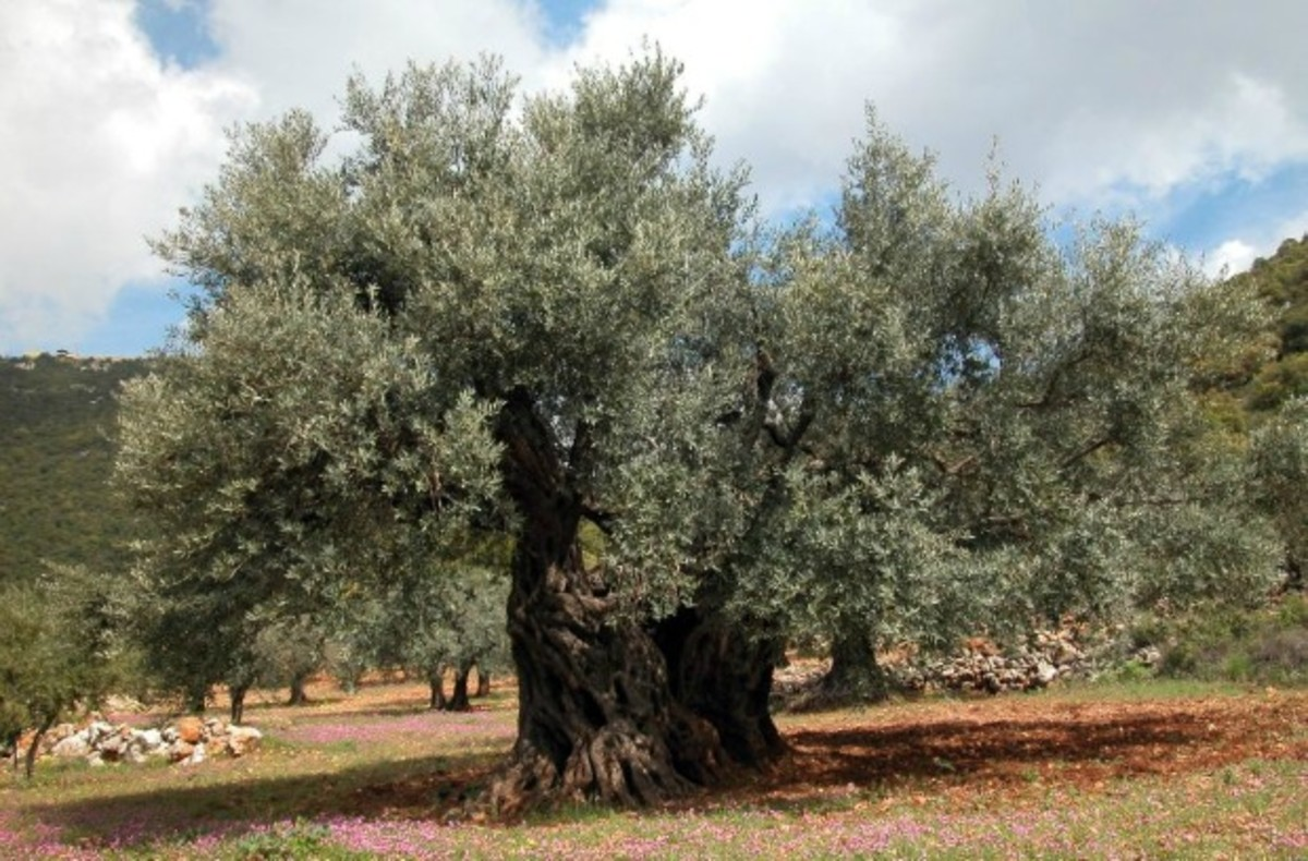Photo of Old Olive Tree on Mount Meron, Israel