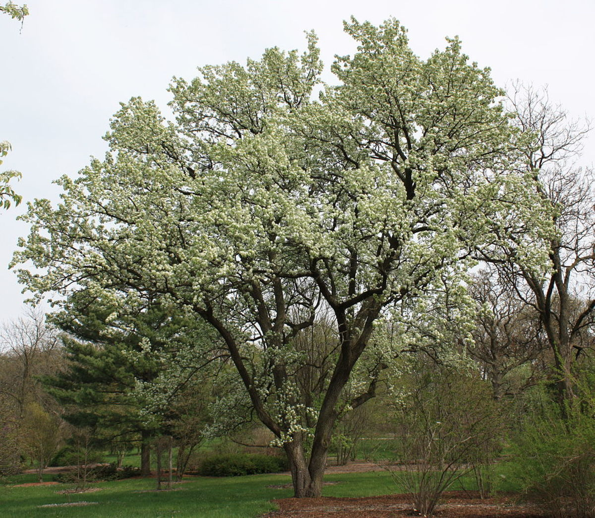 Chinese Flowering Pear Tree