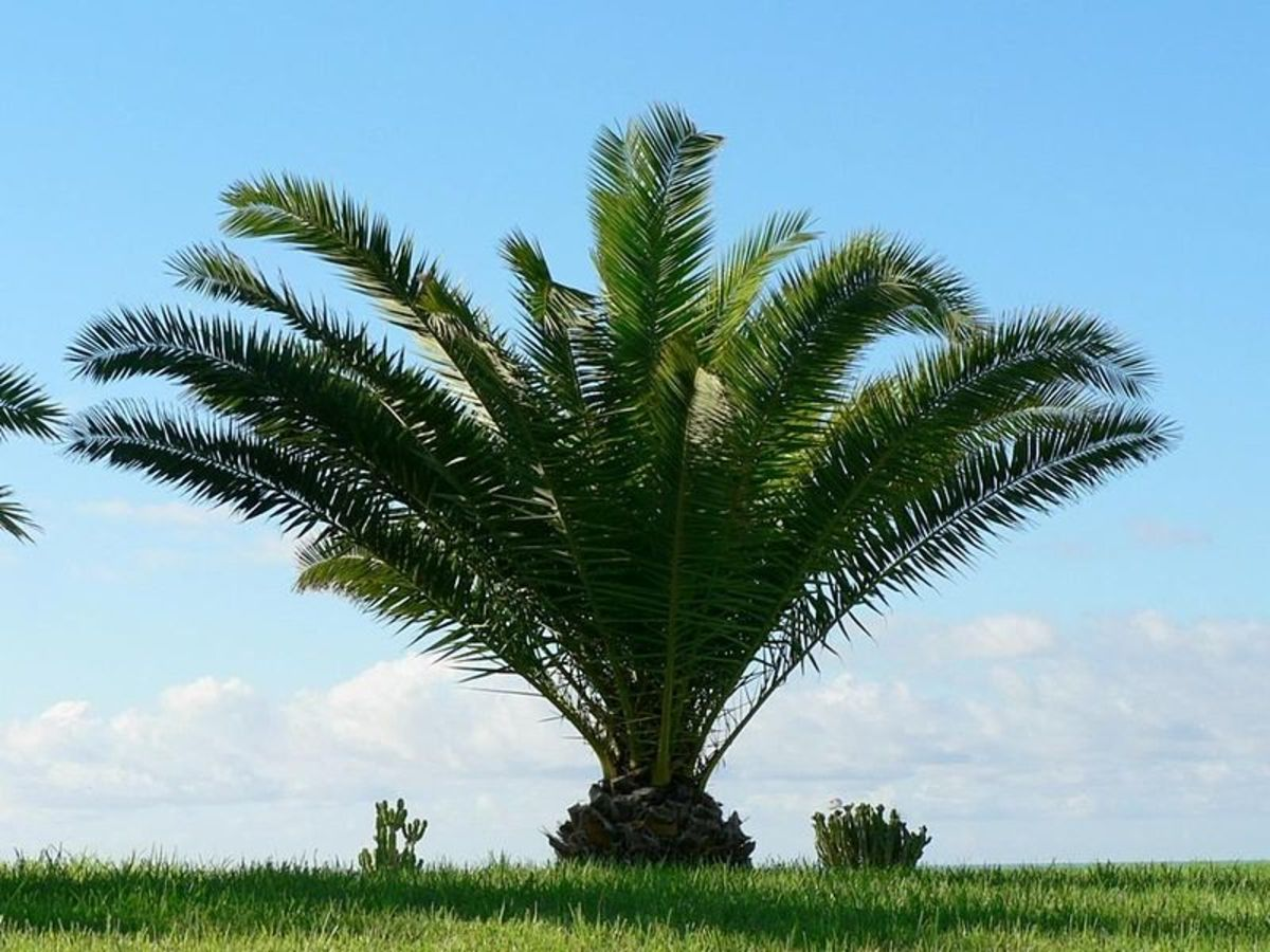 Picture of Ornamental Mexican Fan Palm Tree