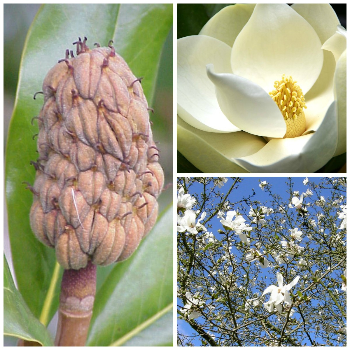 White Magnolia Tree Flowers and Fruit