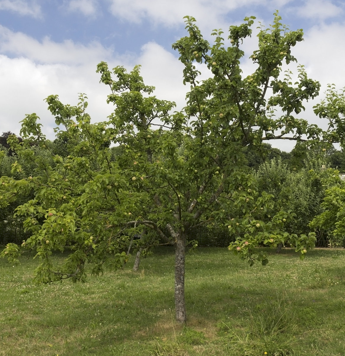 Picture of Apple Tree in Summer