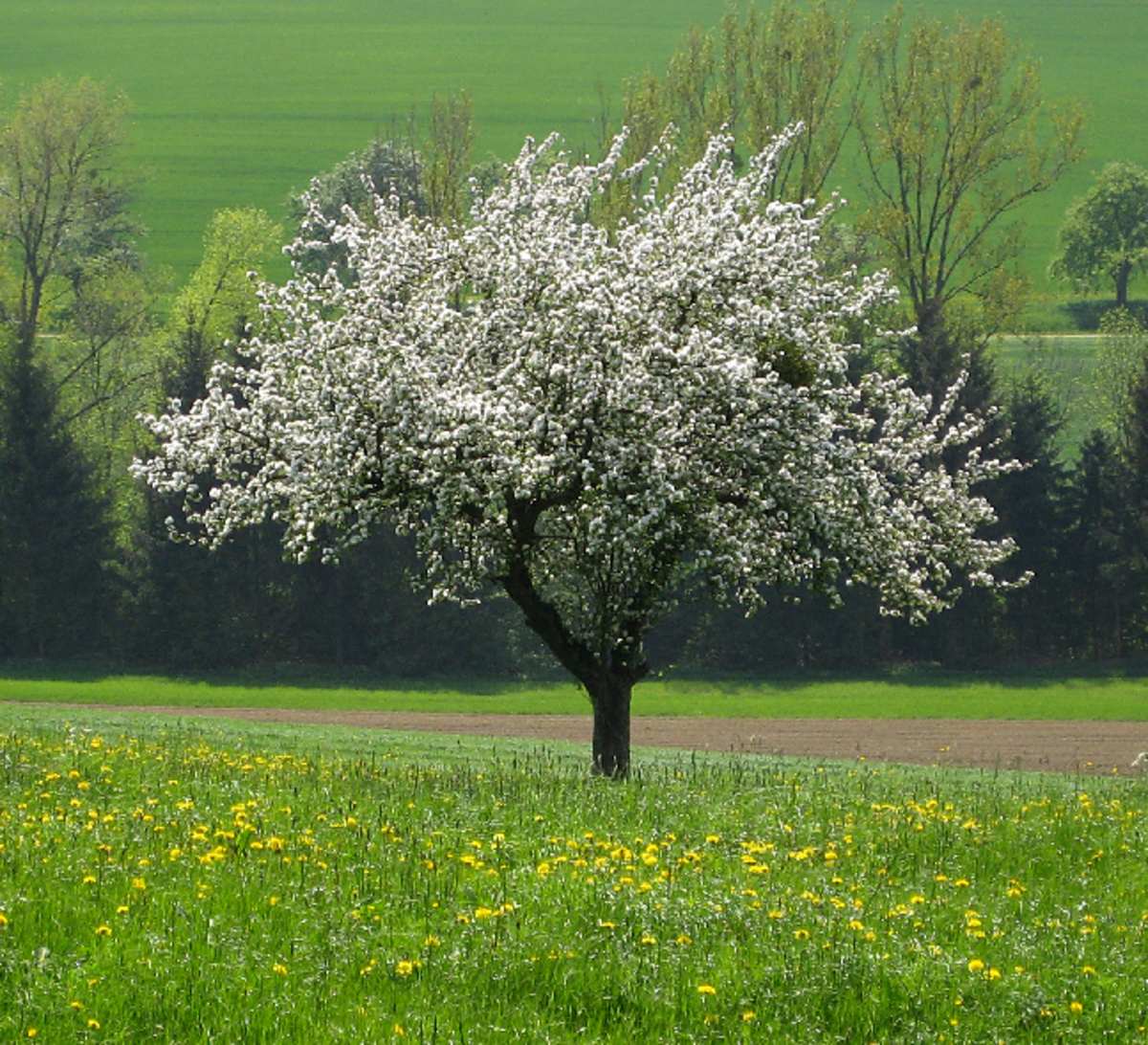 Image of Apple Tree in Spring