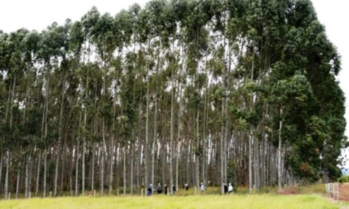 Eucalyptus Trees on Plantation in Israel for Biotech Research
