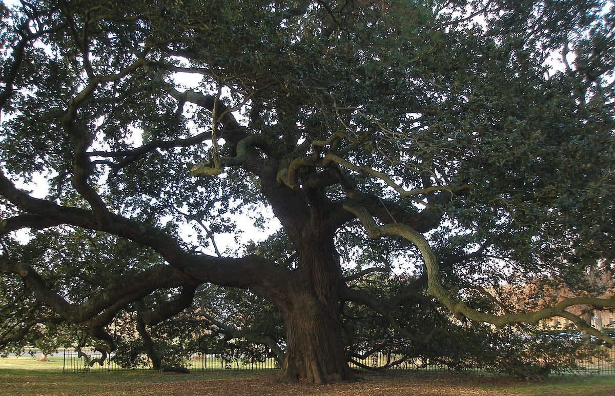 'Emancipation Oak' – Southern Live Oak Tree in Hampton, Virginia, U.S.