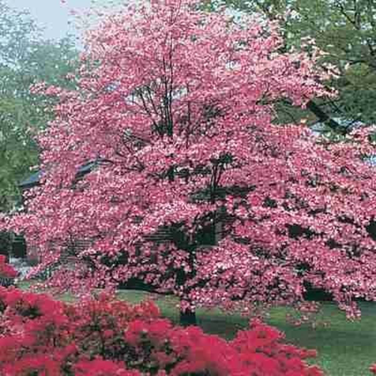 Flowering Dogwood Tree Photo