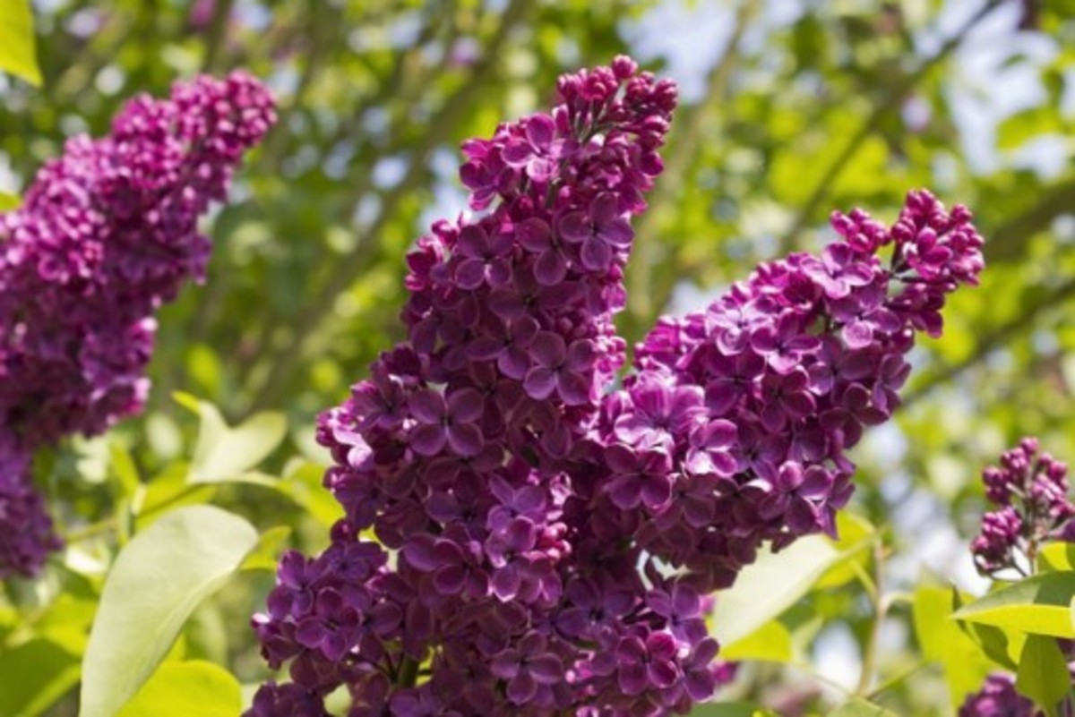 Image of Lilac Blossoms
