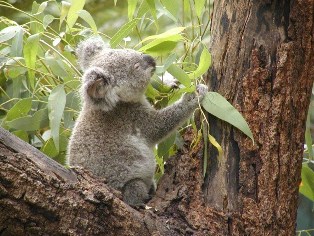 Photo of Koala Bear in Australian Eucalyptus Tree