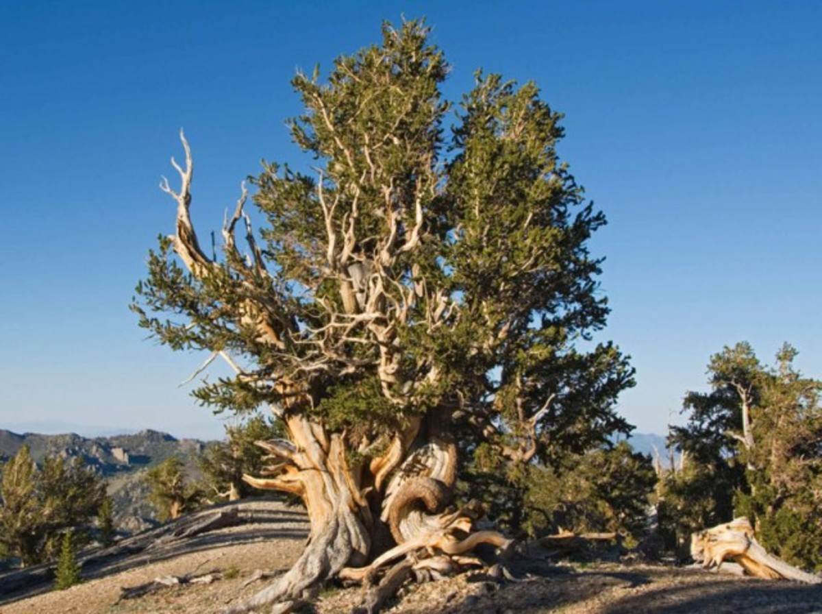 Bristlecone Pine, among the Oldest Trees on Earth