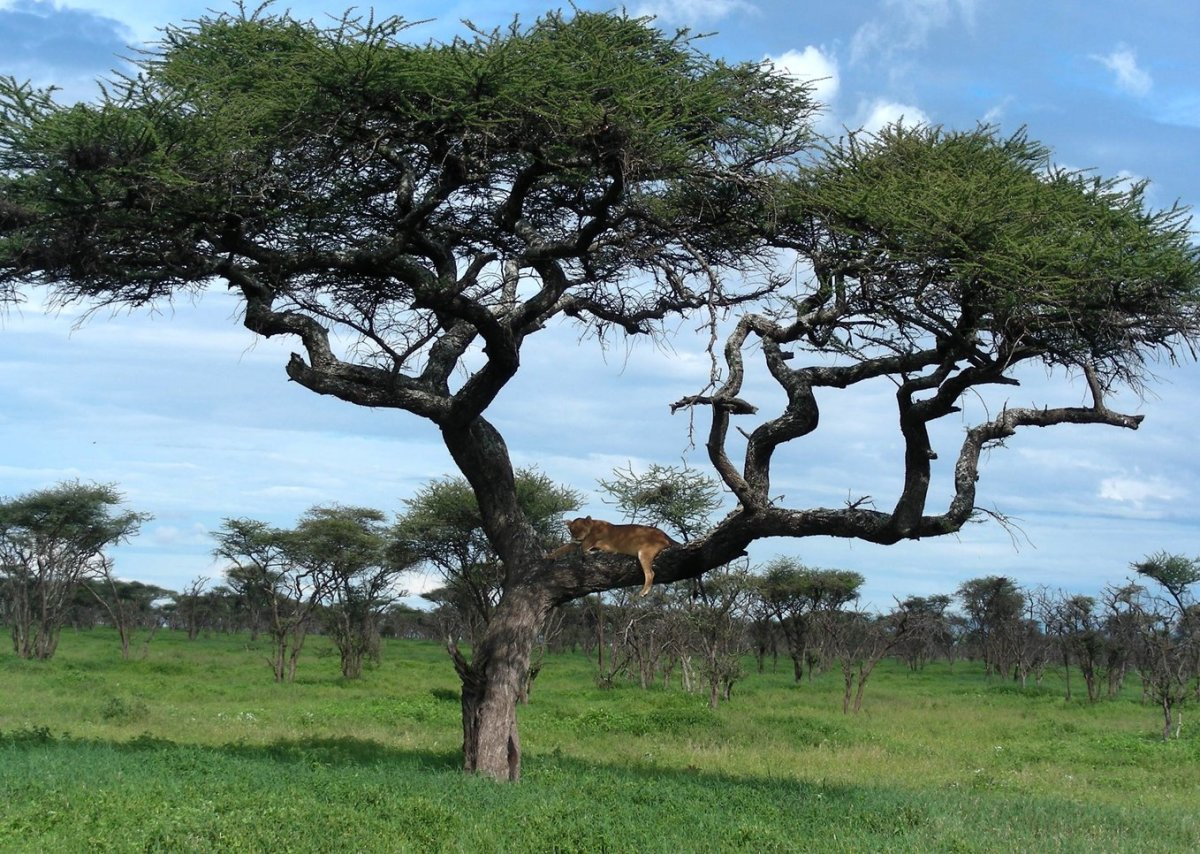 Picture of Lioness Sleeping in Acacia Tree