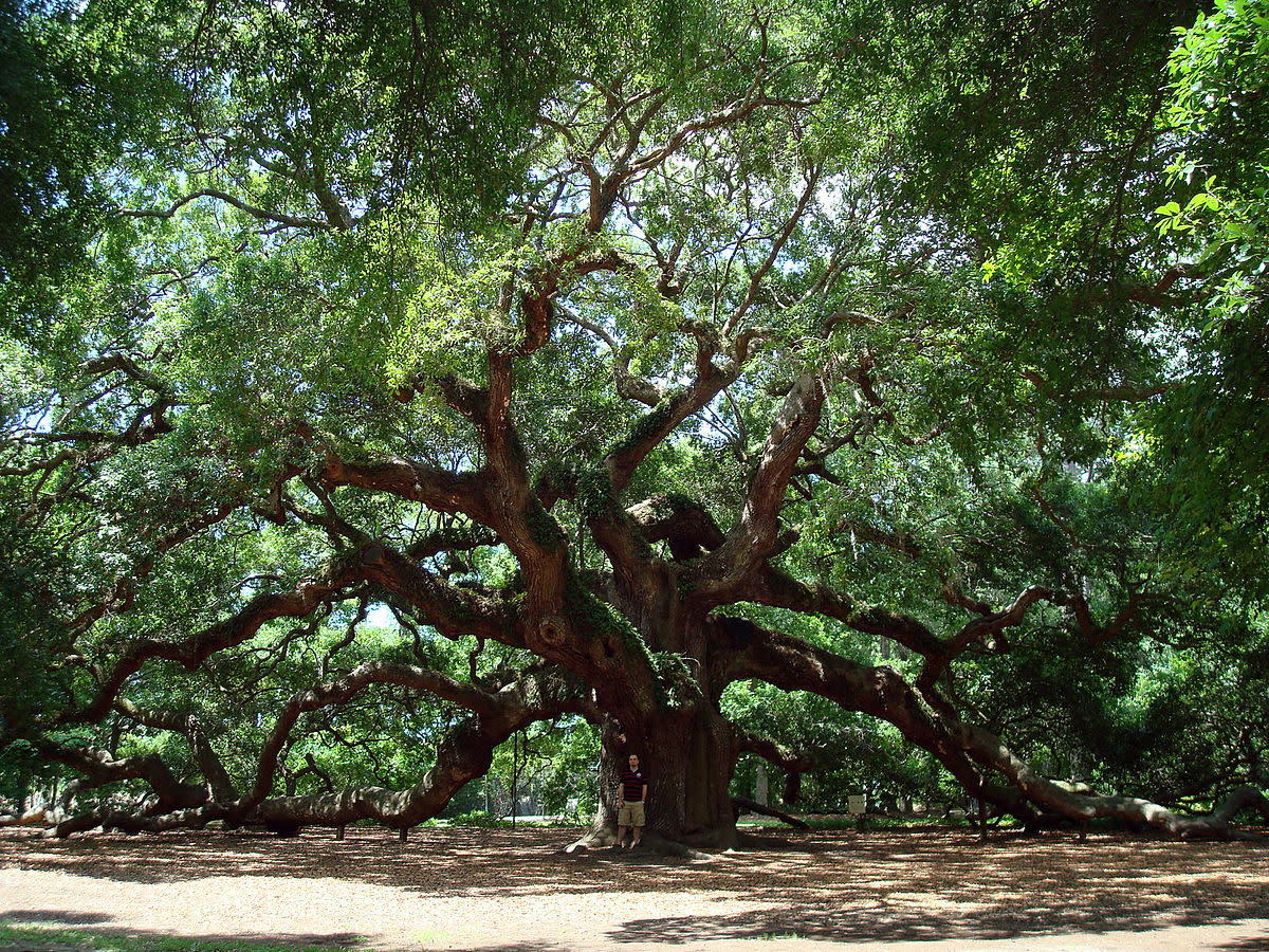 Famous 'Angel Oak', a 1,000 Year Old Live Oak in South Carolina, U.S.