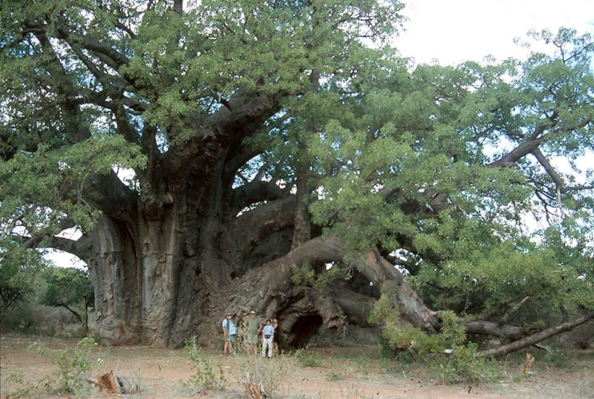 Largest Baobab Tree in the world.. Venda City of Limpopo, South Africa