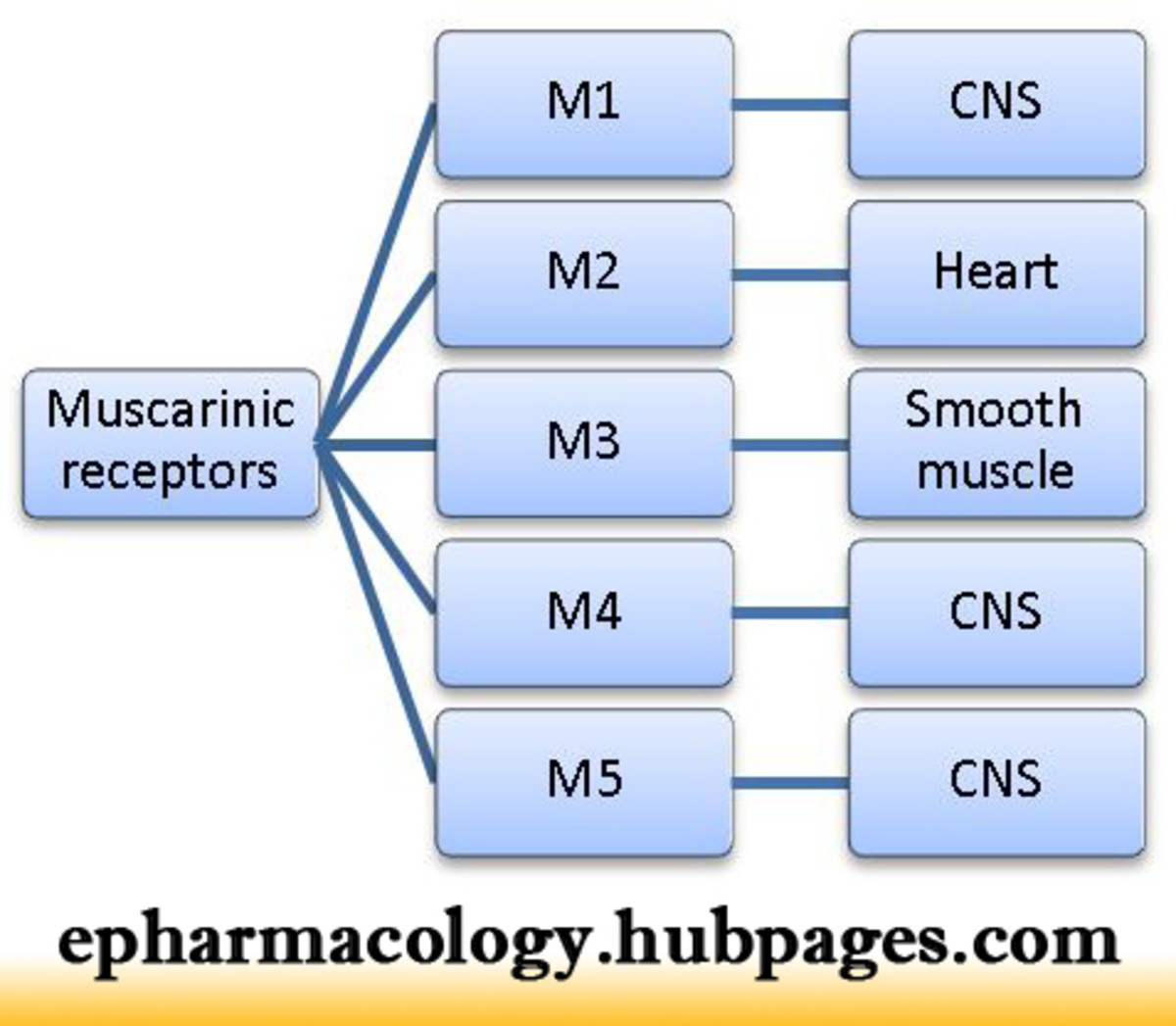 Different sub-types of muscarinic receptors and their locations
