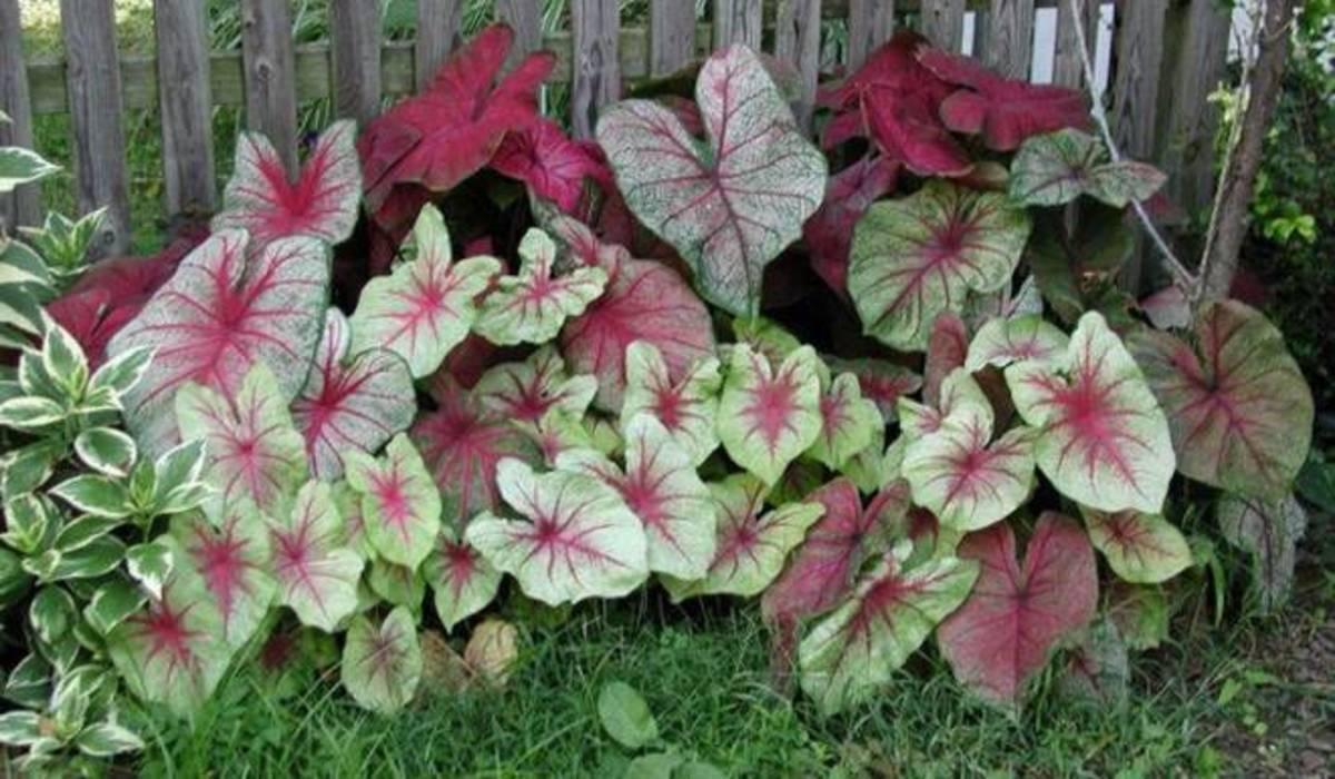 Gabi-gabi plants displaying their beauty.