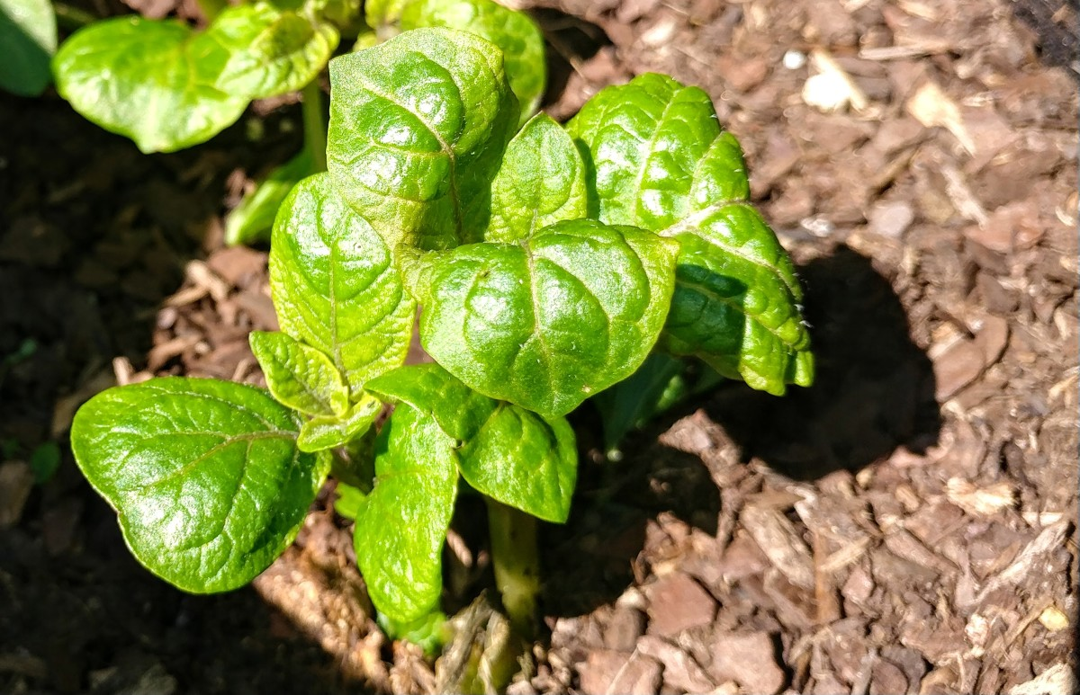 This is a young potato plant, at about 4 weeks of age.