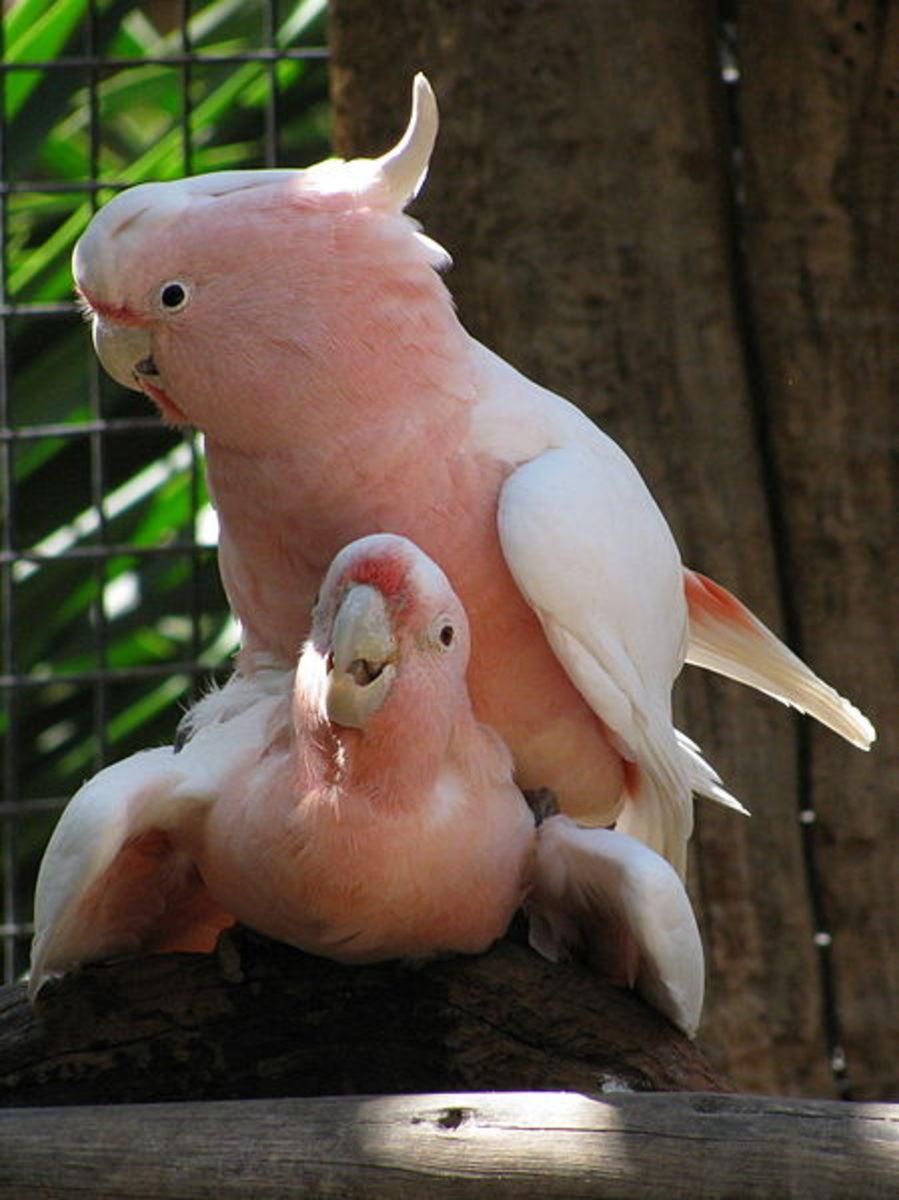 Major Mitchell's Cockatoos mating at Palmitos Park, Gran Canaria, Spain.