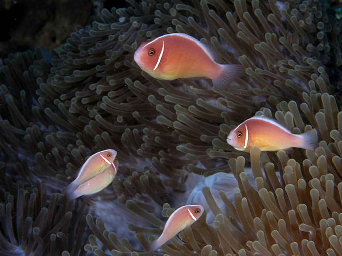 Pink skunk clownfish (Amphiprion perideraion) in Komodo National Park