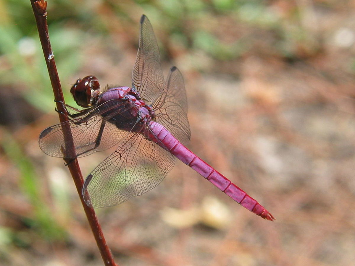 Roseate Skimmer perched on a twig