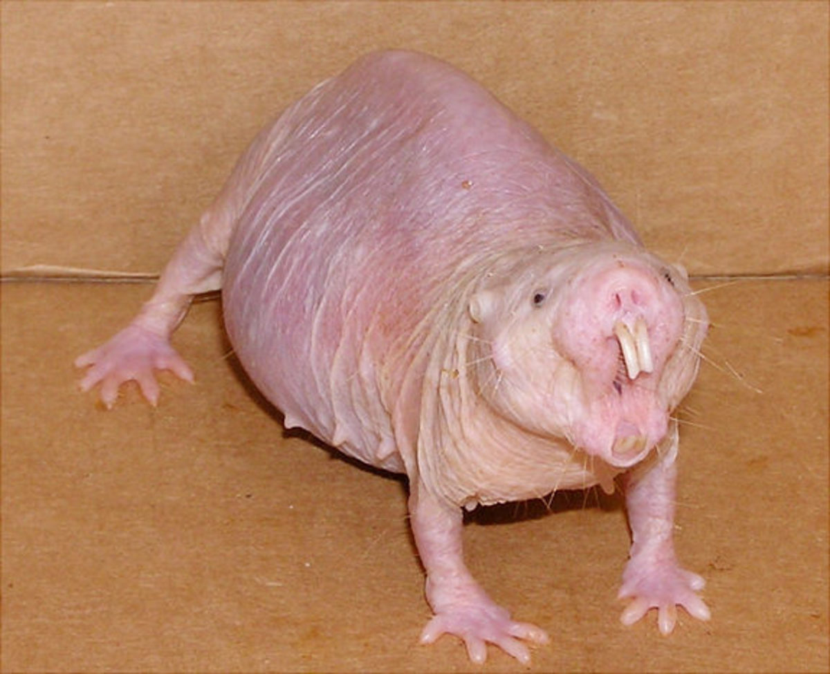 Angry naked mole rat of the female gender.