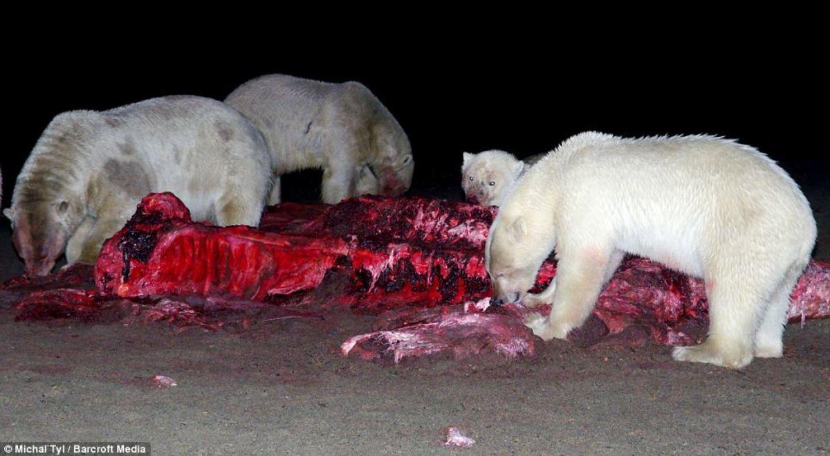 Polar bear group feeding