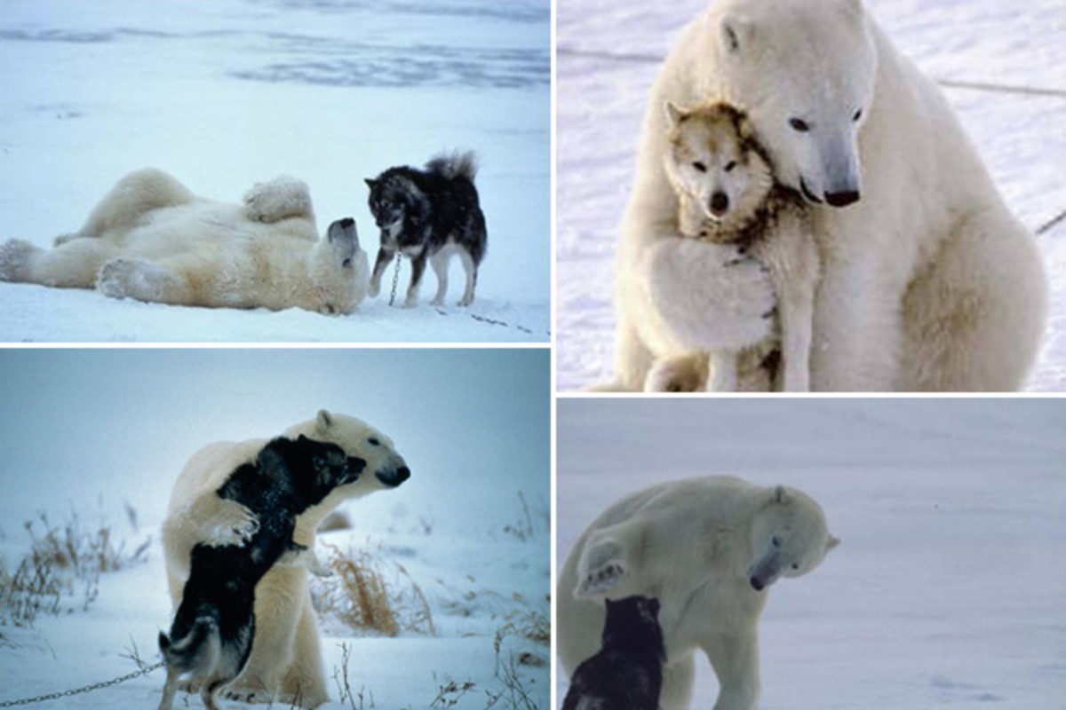 Polar bear playing with a dog