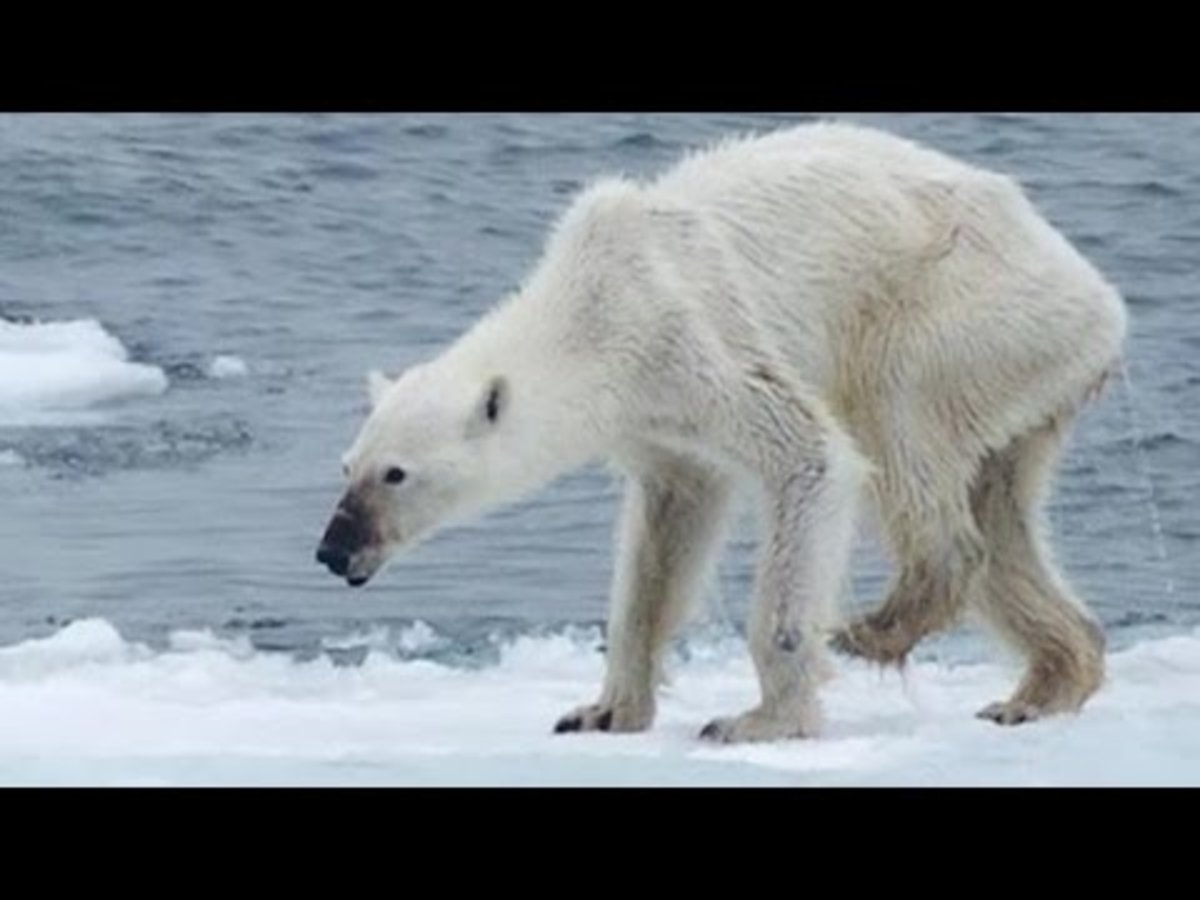 A starving and dying polar bear.