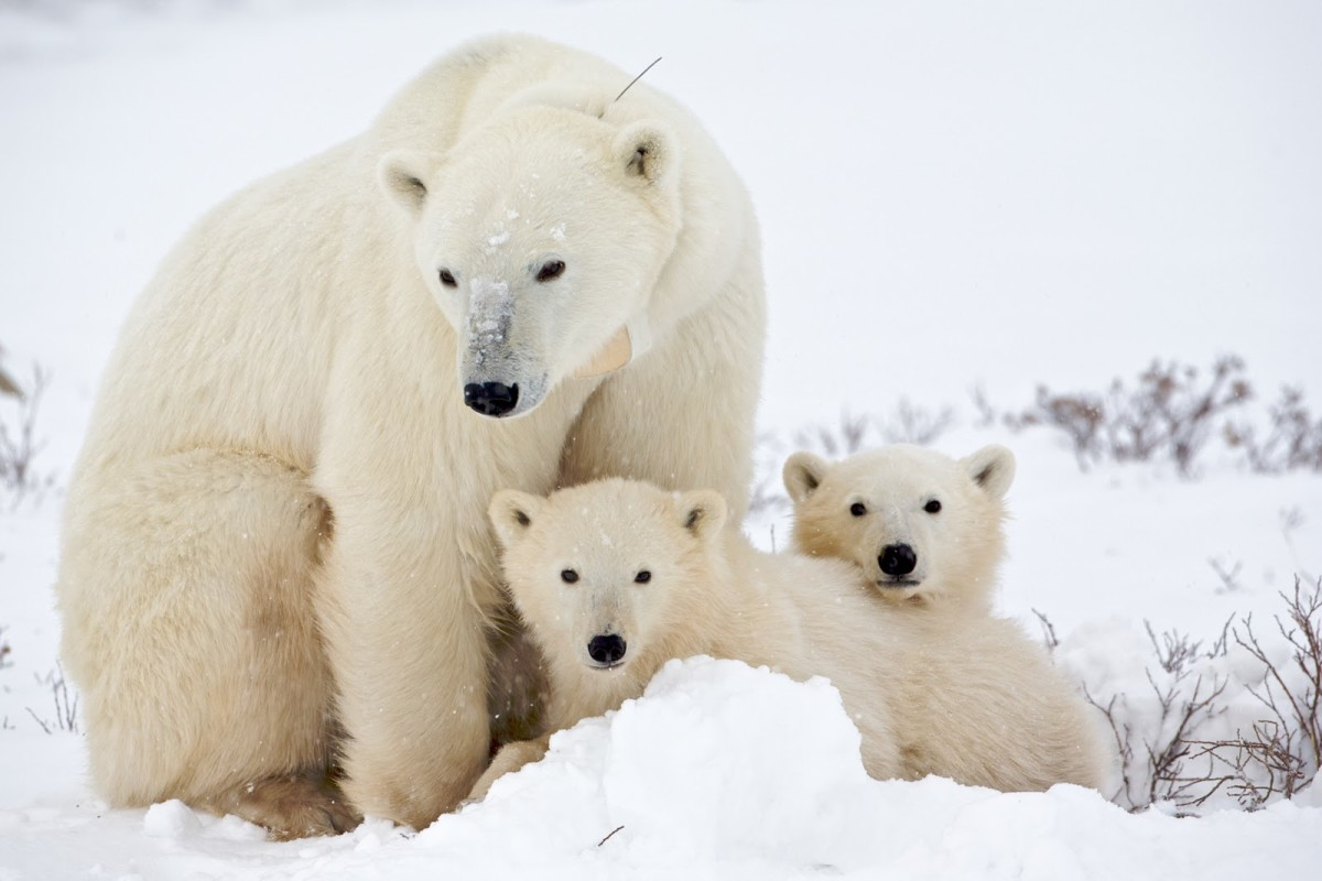 Momma bear and her cubs