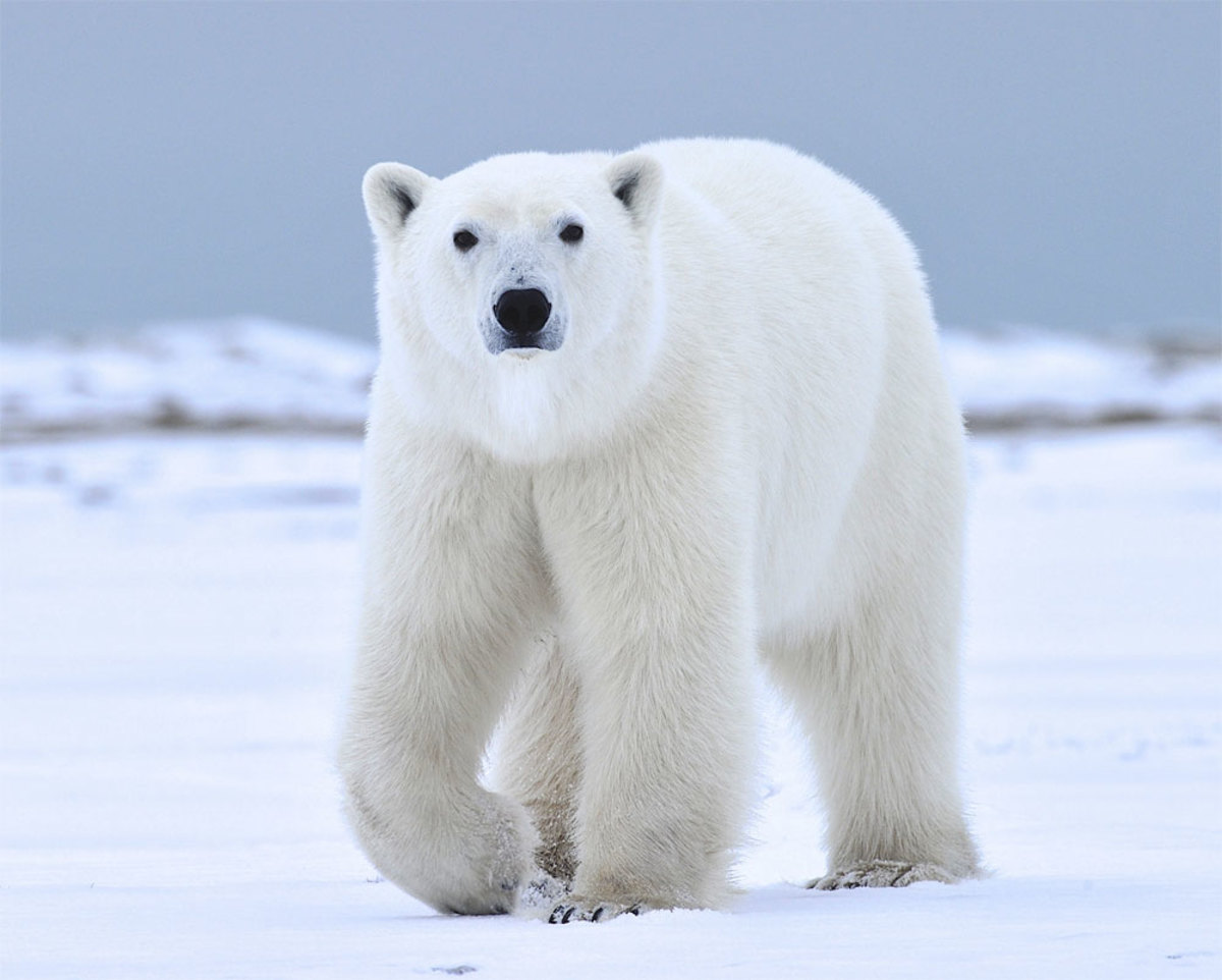 Polar Bears Are Losing Their Homes