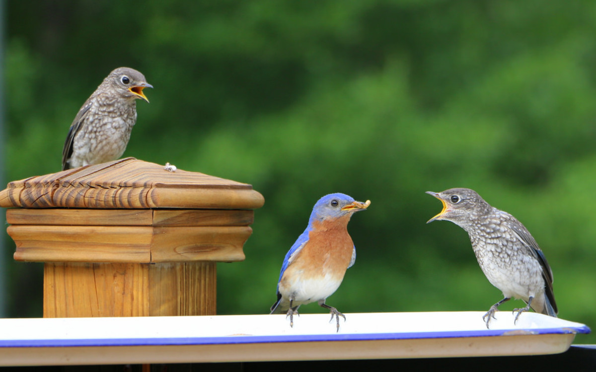 Bluebird Dad & Fledglings