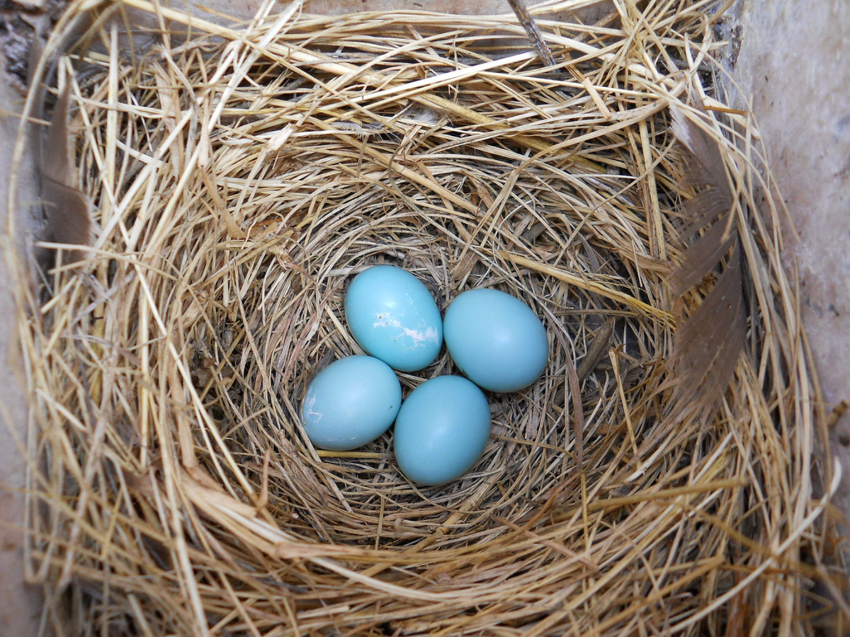Four Bluebird Eggs