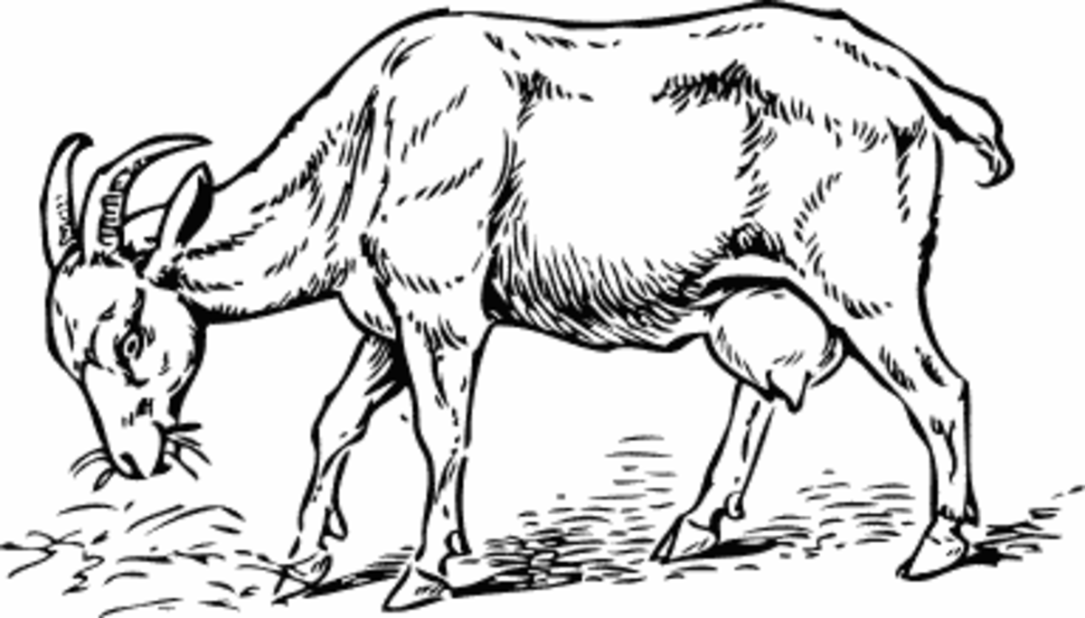 Sketch of a Goat