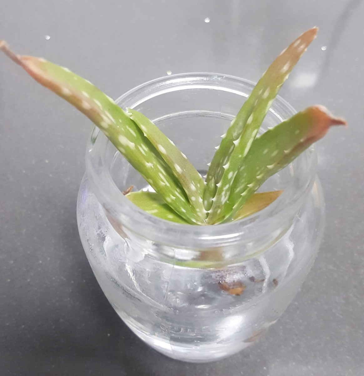 help-my-aloe-vera-is-brown