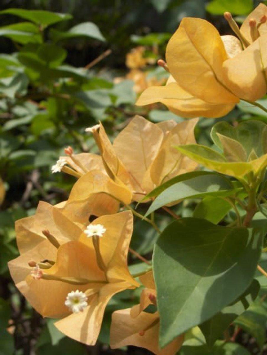 A yellow shade.