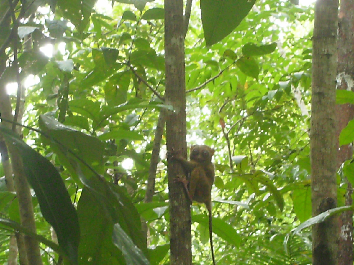 Philippine Tarsiers, the Suicidal Primates
