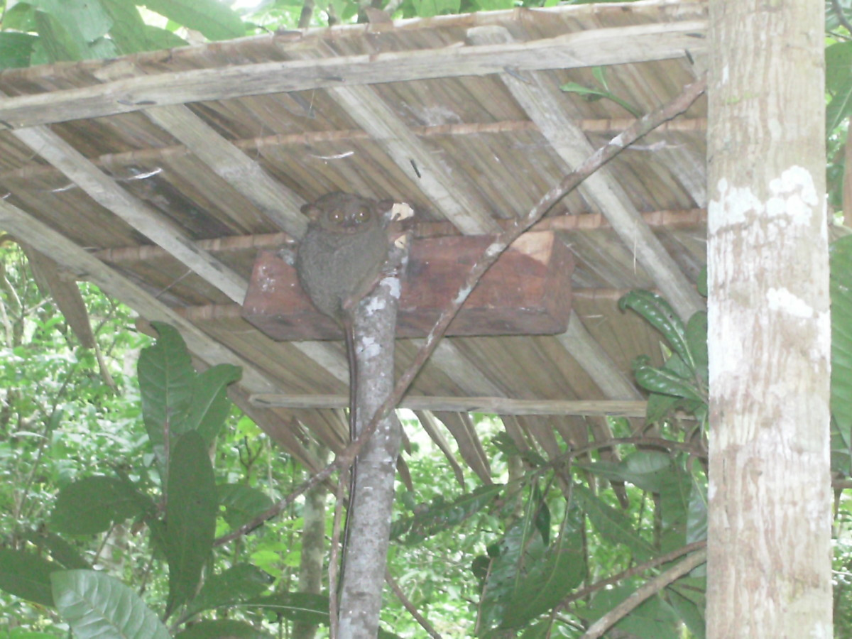 The small thatched roof made of nipa leaves was built to keep the tarsier dry during the rainy season.  There are several of these structures strategically placed in the sanctuary where tourists are allowed.