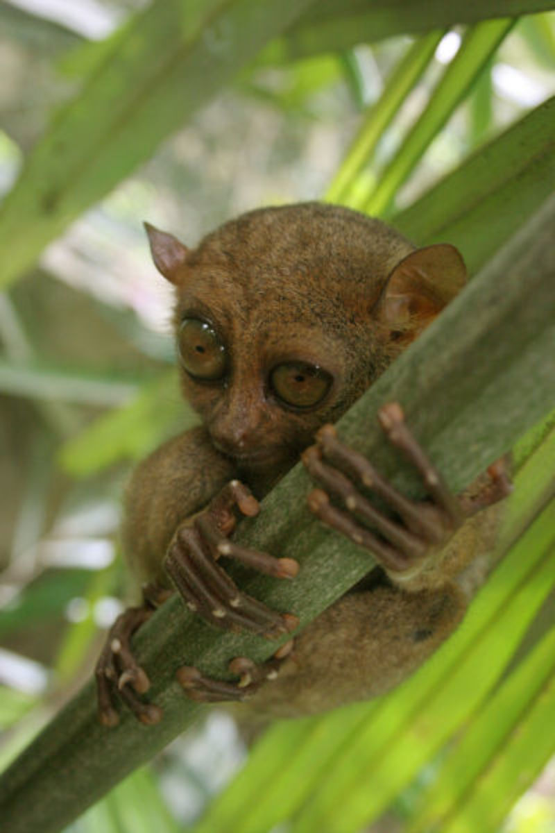 tarsiers-the-suicidal-primates